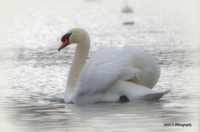Lone Swan A Swimming