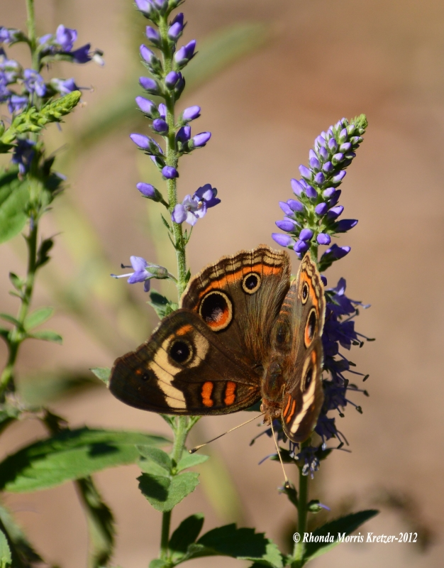 Buckeye Butterfly On Blue Salvia
