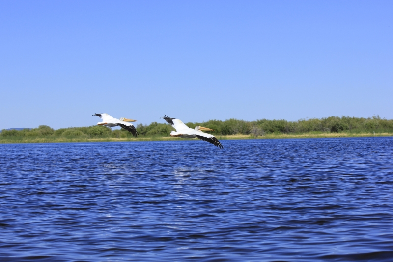 Pelicans In Flight Over Pelican Bay