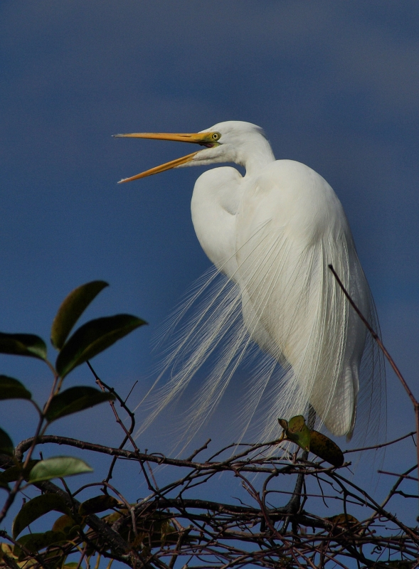 Great Egret (everglades National Park)