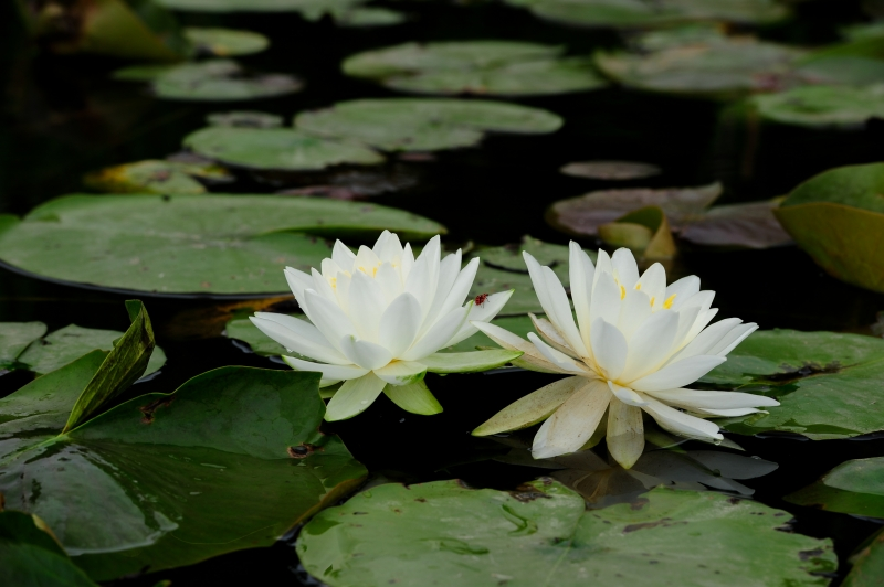 Water Lillies With A Surprise