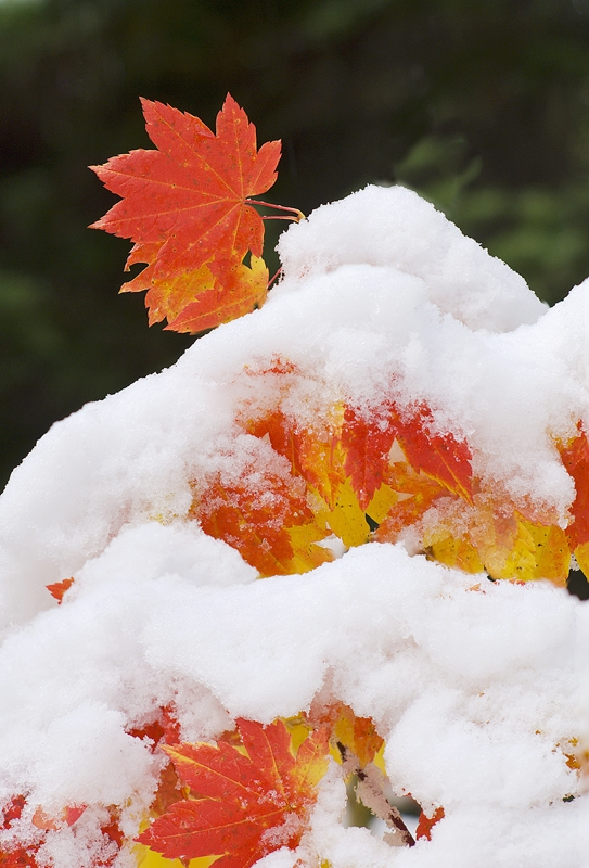 Vine Maple Leaves And Snow