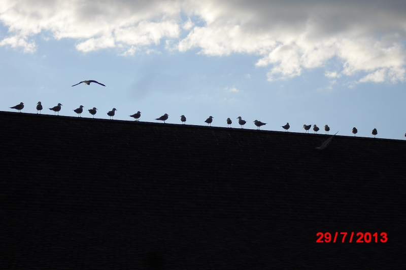 Birds On A Rooftop