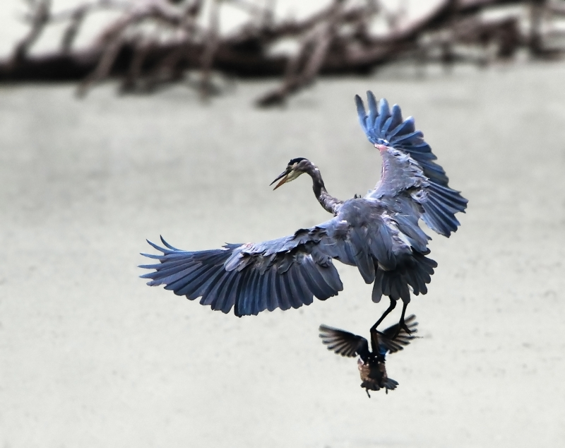 Blue Heron In Action