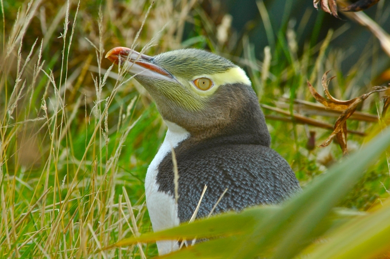 Endangered Yellow Eyed Penguin