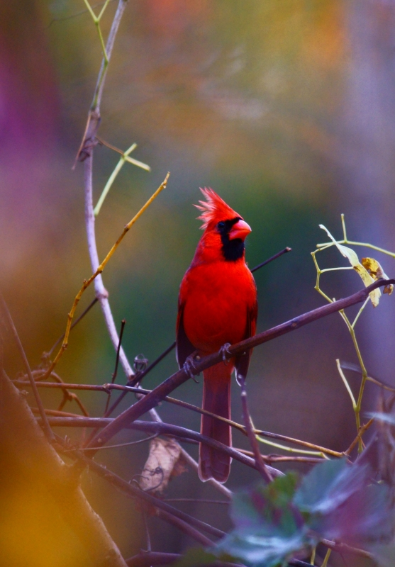 Red Cardinal In Autumn