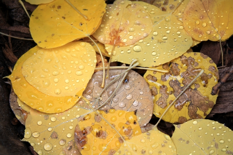 Droplets On Aspen Leaves