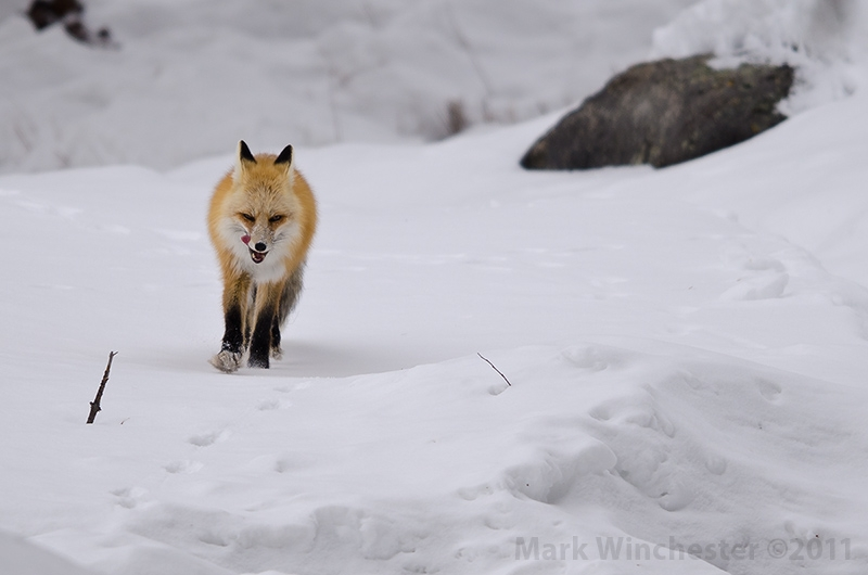 Red Fox Trotting With A Full Belly