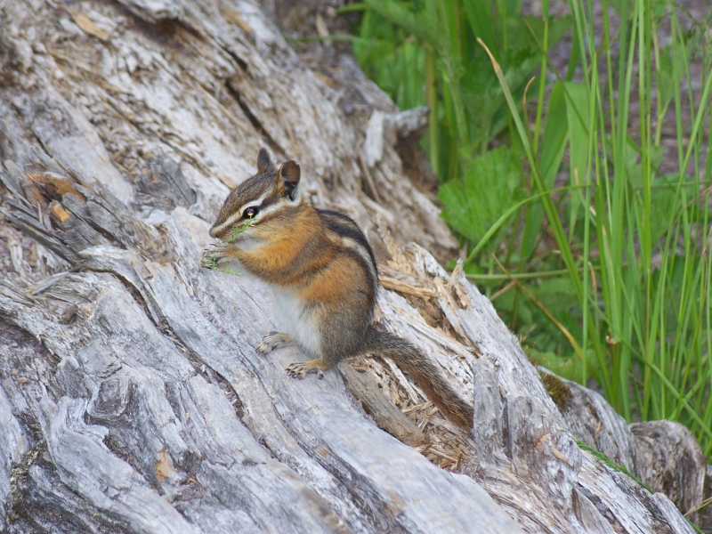 Chipmunk Lunch