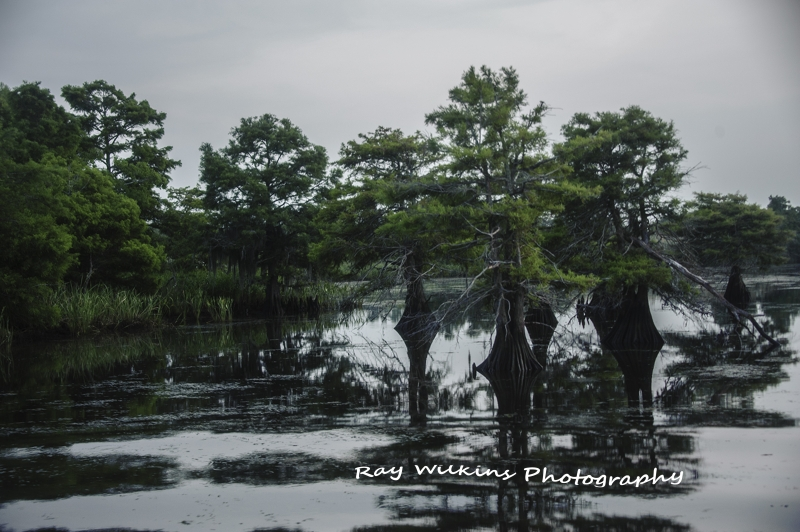 Trees Growing In The Middle Of The Swamp