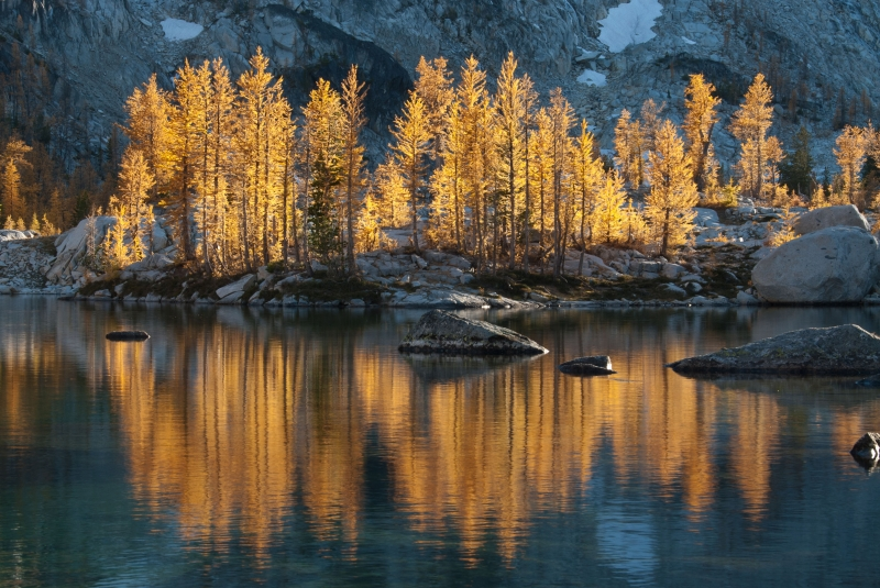 Golden Larch Reflection