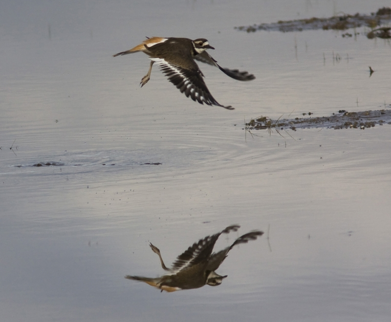 Kildeer Reflections