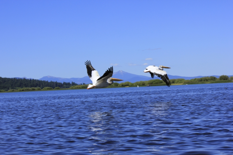 Pelicans In Flight Over Pelican Bay 2