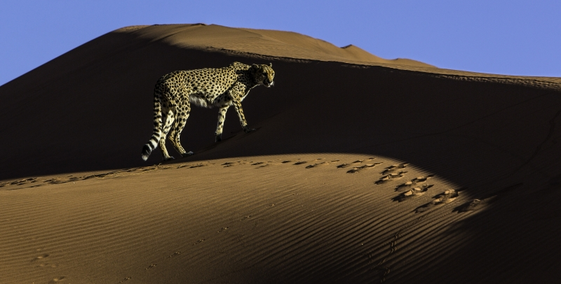 Cheetah In Dune Shadow