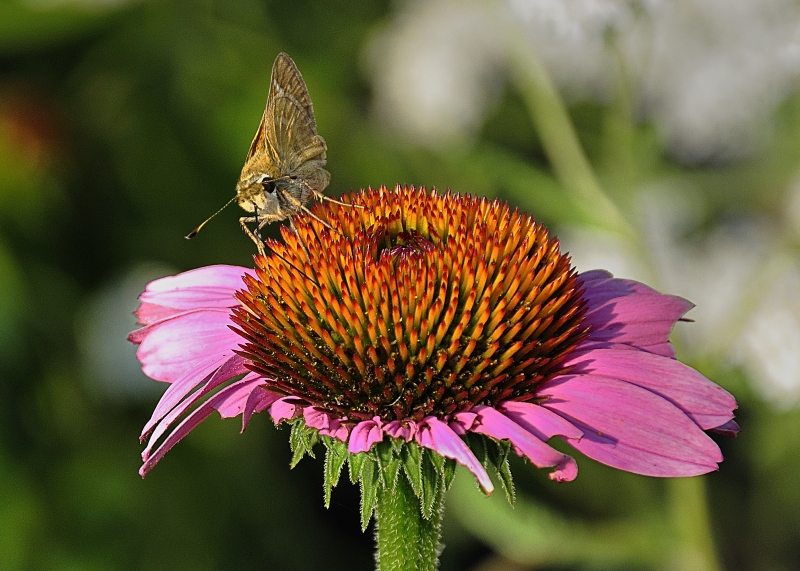 Skipper On Cone Flower