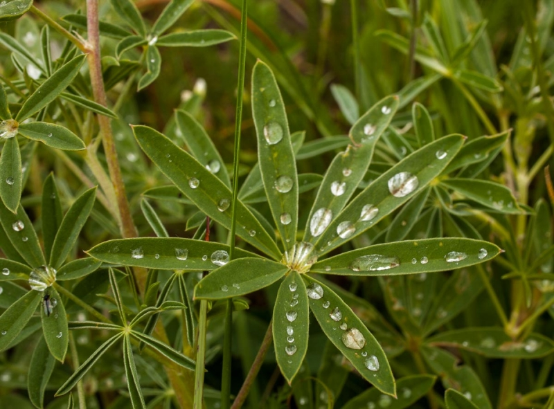 Raindrops On Lupines