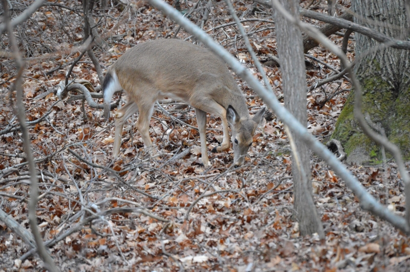 White-tailed Doe With Hoof Up