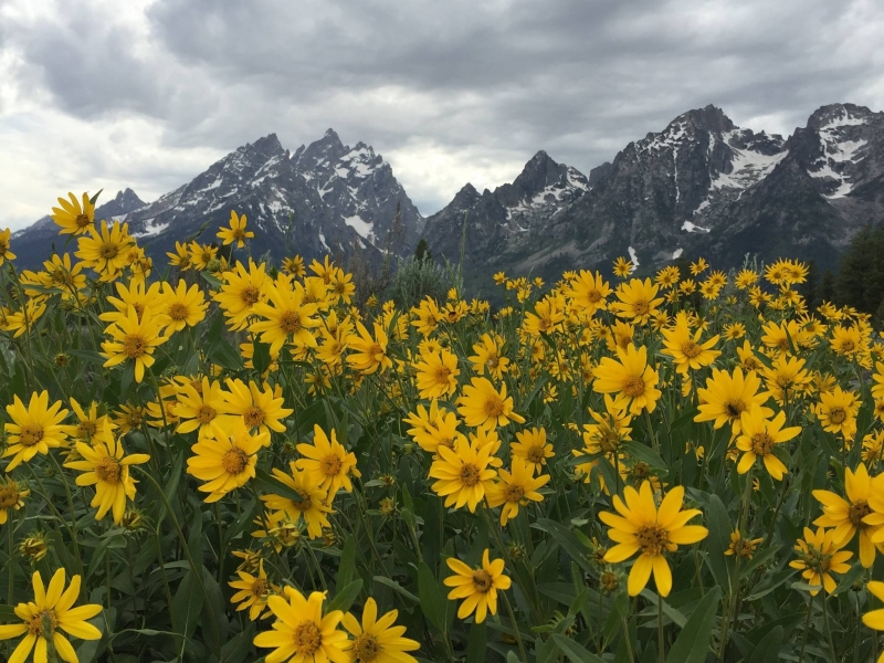 Wild Flowers At The Tetons
