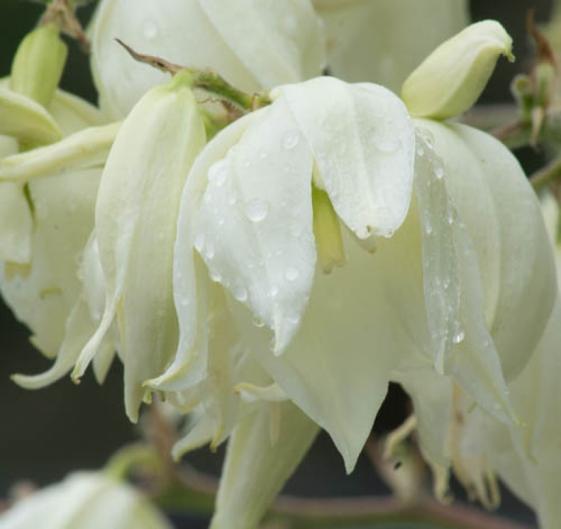 Yucca Blossoms Drippingly Beautiful