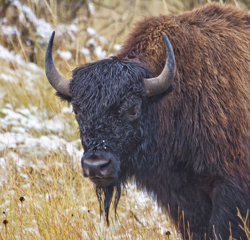 Young Bison Bull