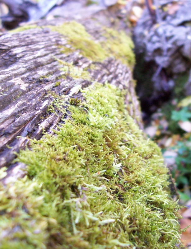 Moss On Deadfall