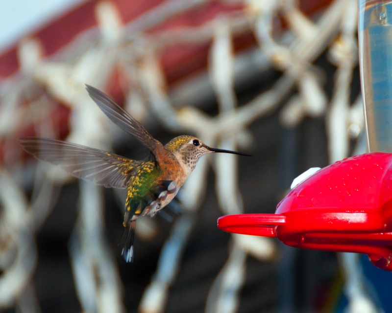Empire Humming Bird