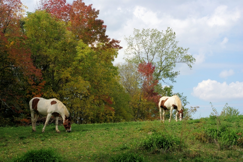 Horses On An Autumnal Hillside