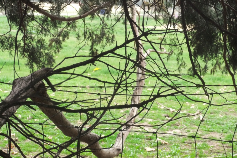Tree Branch Piercing Through Barb Wire Fence