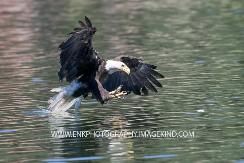 Adult Bald Eagle Catching A Trout
