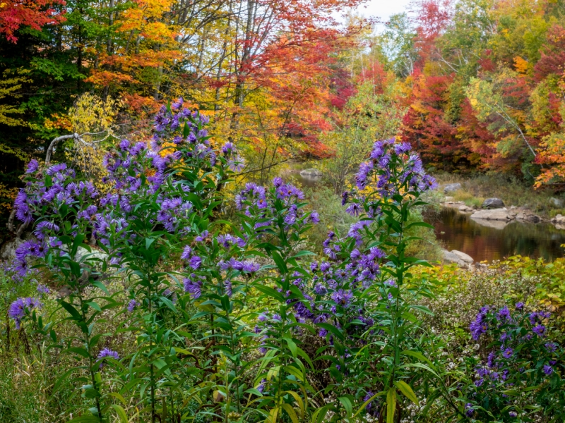 New England Asters And Fall Color