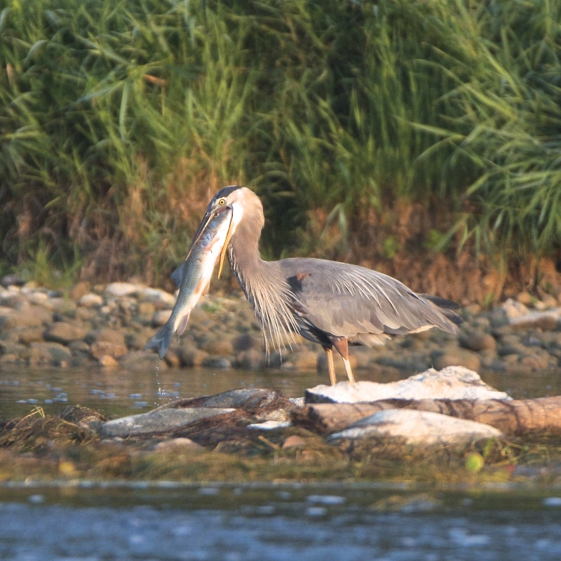 Blue Heron Biting Off More Than He Can Chew