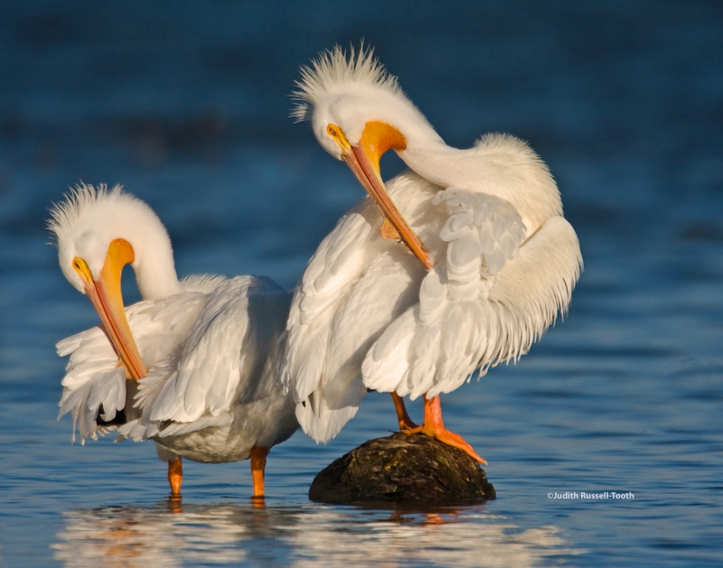 Dance Of The Pelicans