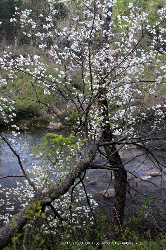Dogwood On Blue River