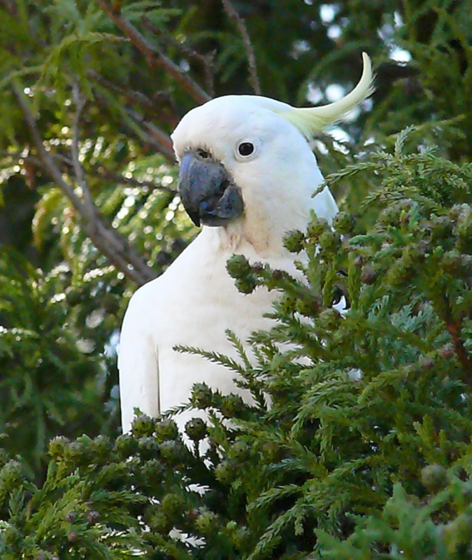 A White Cockatoo In A Pine Tree At Lawson