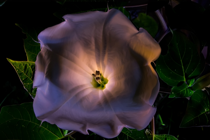 Glowing Moon Flower