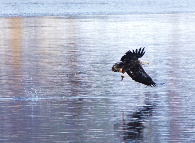 Juvenile Bald Eagle Fishing