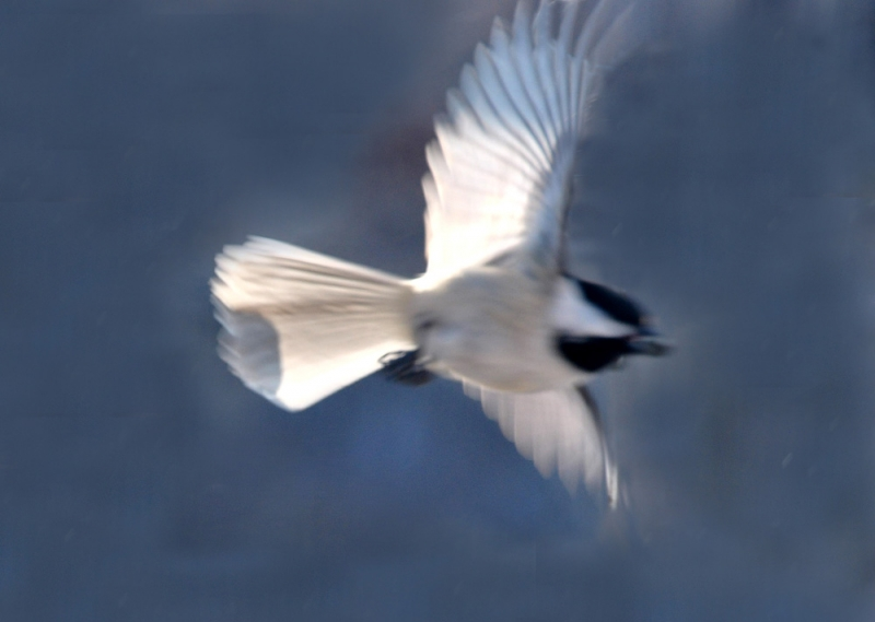 Flight Of A Chickadee