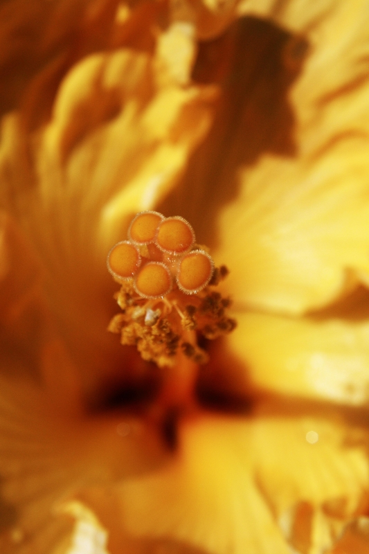 The Stamen Of Yellow Tropical Hibiscus