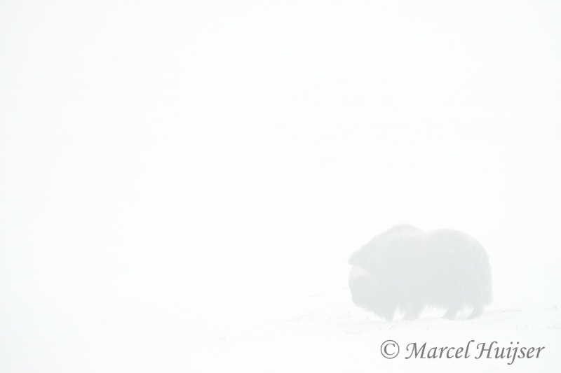 Arctic Ghost, Muskox (ovibos Moschatus) In Ice Fog In Winter, Dovrefjell National Park, Norway