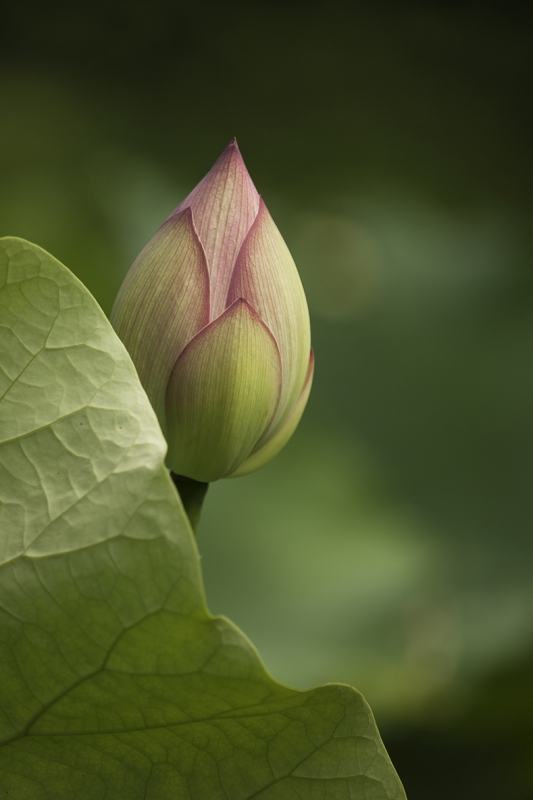 Budding Lotus