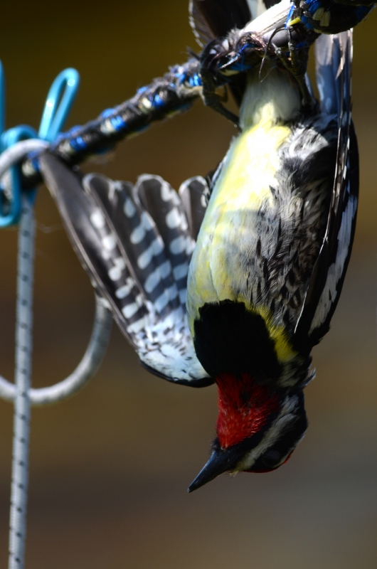 Yellow Bellied Sapsucker Hanging Upside Down
