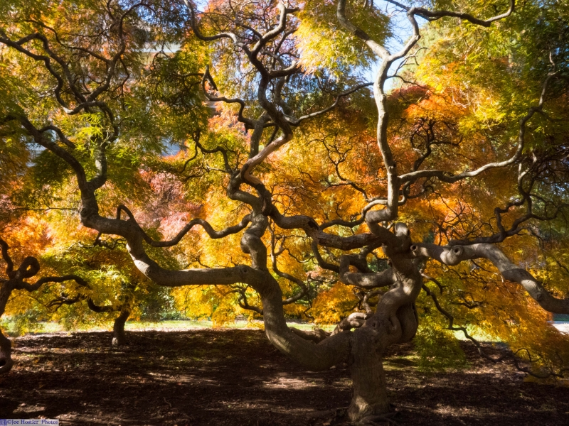 Japanese Maple In Autumn Splendor At Cylburn Arboretum.
