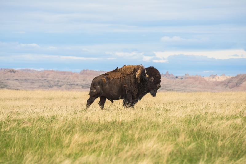 Buffalo In The Badlnads
