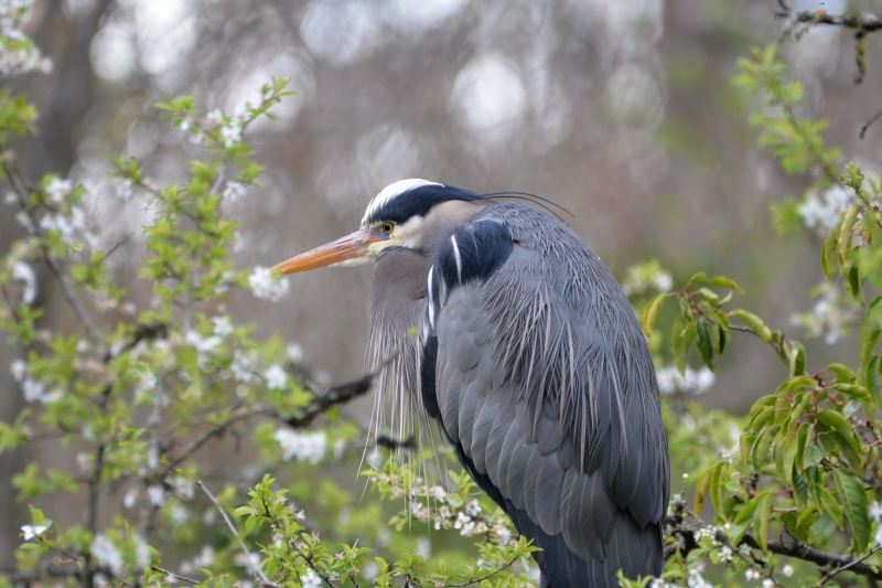 Heron In The Blossoms.