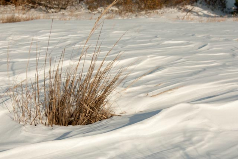 Pampas Grass On A Snowy Beach