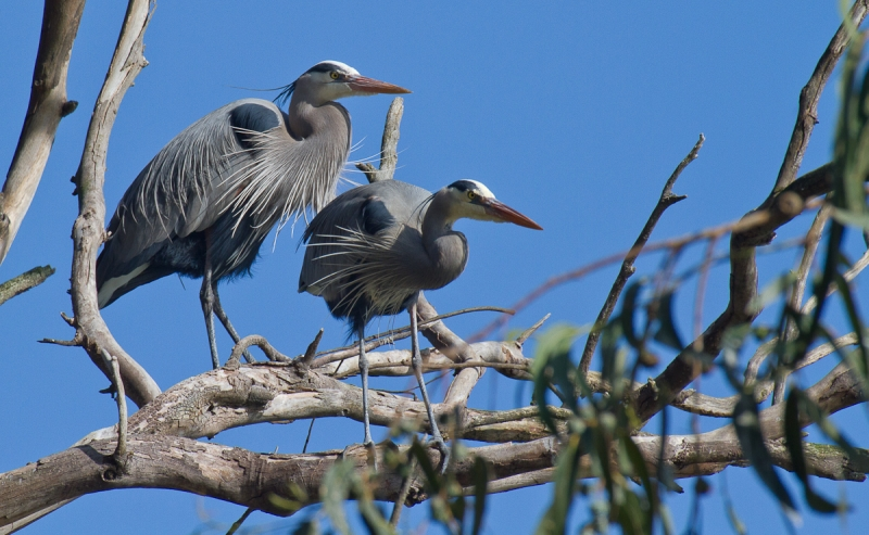 Paired Great Blue Herons