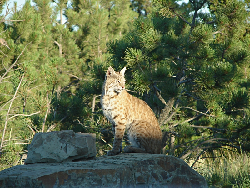Bobcat On A Rock