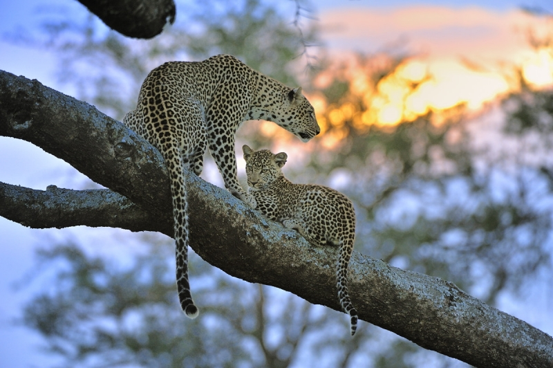 Leopards At Sunset