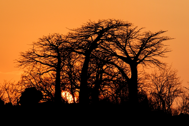 Baobabs At Snset, Ruaha National Park