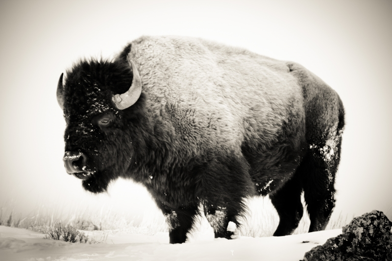 Buffalo In The Winter